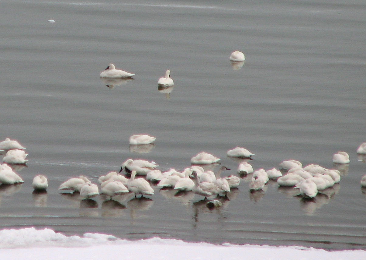 Tundra Swans at Mono Lake. Photo by Bartshe Miller.