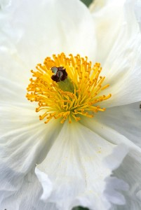 A beautiful macro shot of a prickly poppy. Photo courtesy of David Gubernick.