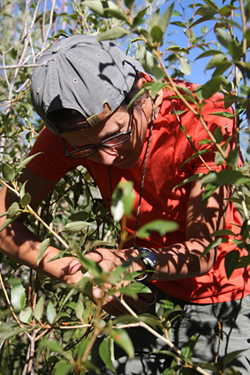 """Researcher Sacha Heath looks for insects on a """"control"""" cottonwood."""