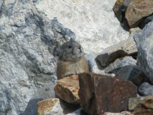 Pika in the Eastern Sierra