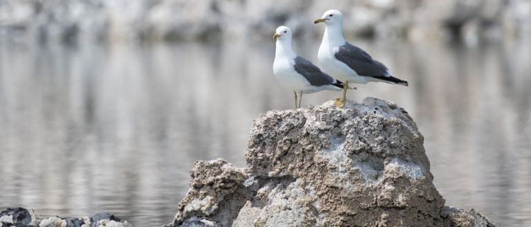 Two california gulls standing on top of a tufa mound with a reflective lake in the background.