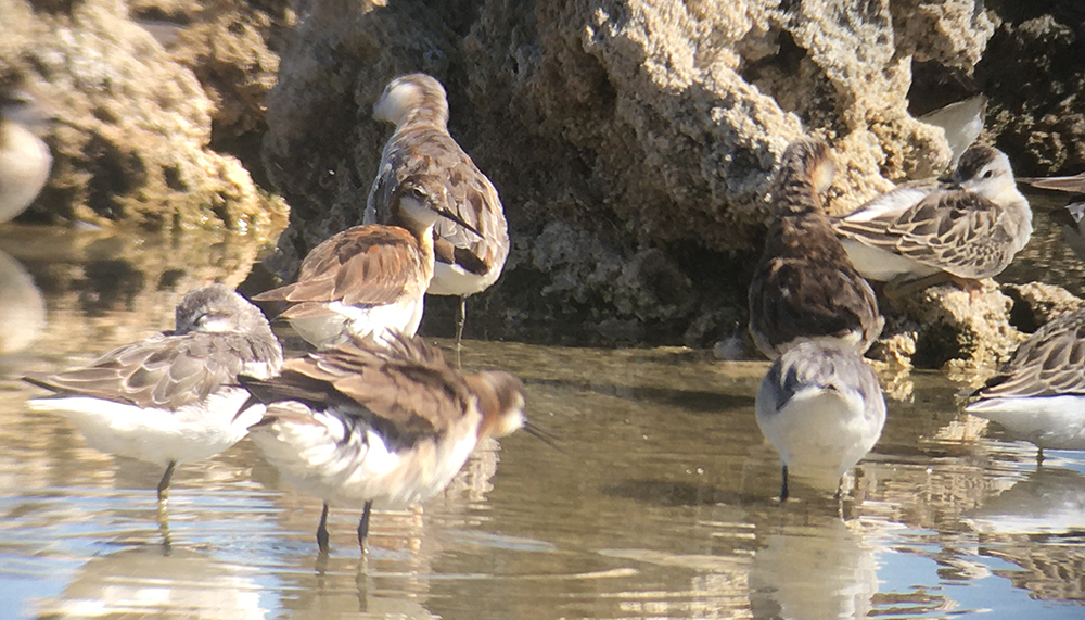 Several birds with white underbellies and brown wings stand in brown water and move about the tufa.