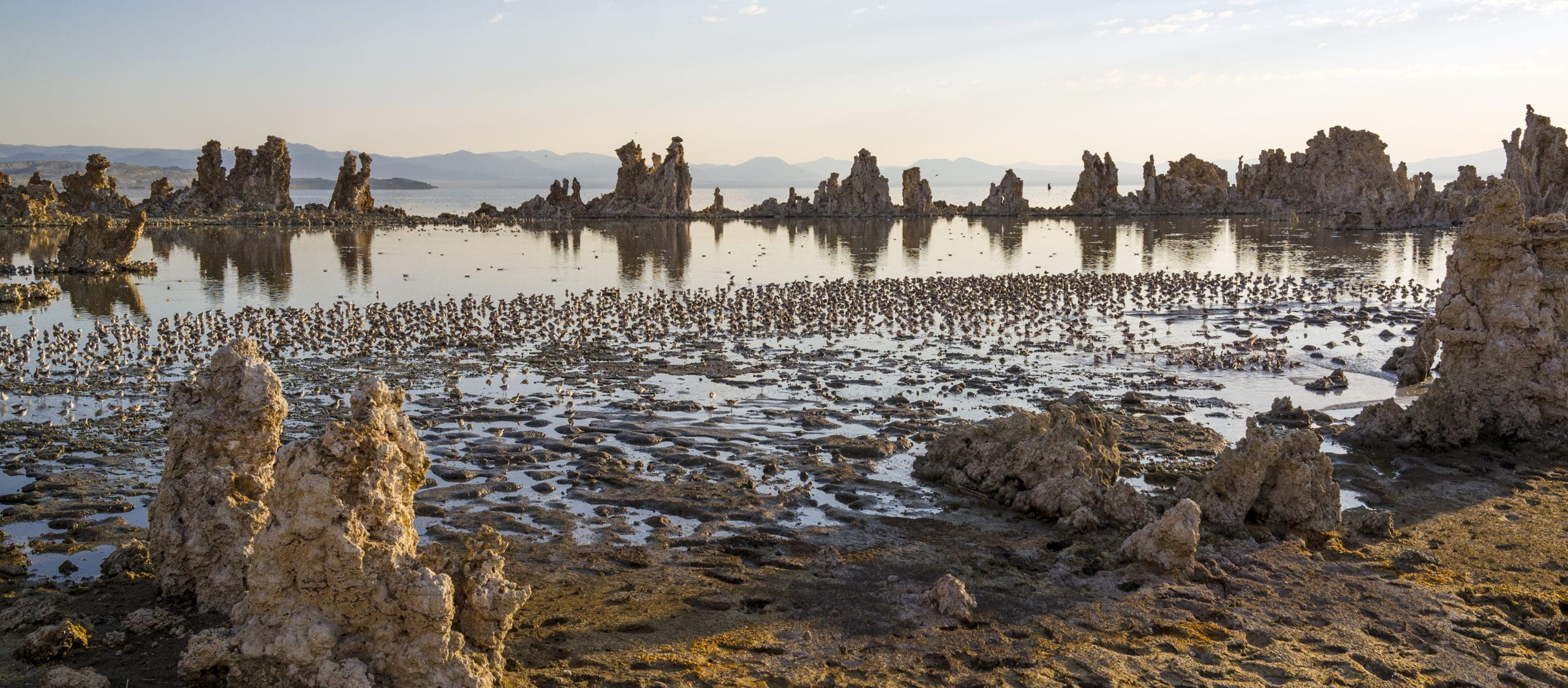 Tufa towers stand in Mono Lake with glassy reflections below and hundreds of small shorebirds fill the water just off shore of the muddy shoreline.