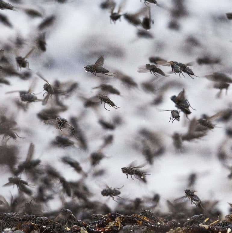 An up-close shot of a cloud of alkali flies, which look like the common house fly, flying through the air in every direction.