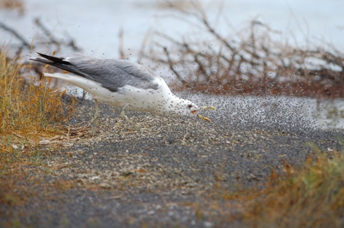 A California Gull running with its neck outstretched and beak open as it goes through a dense cloud of alkali flies trying to snap them up as they scatter.