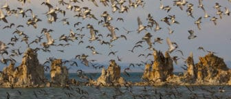 Hundreds of small shorbirds bathed in golden light, in flight, on the shore, and in the water at Mono Lake in front of tufa towers.