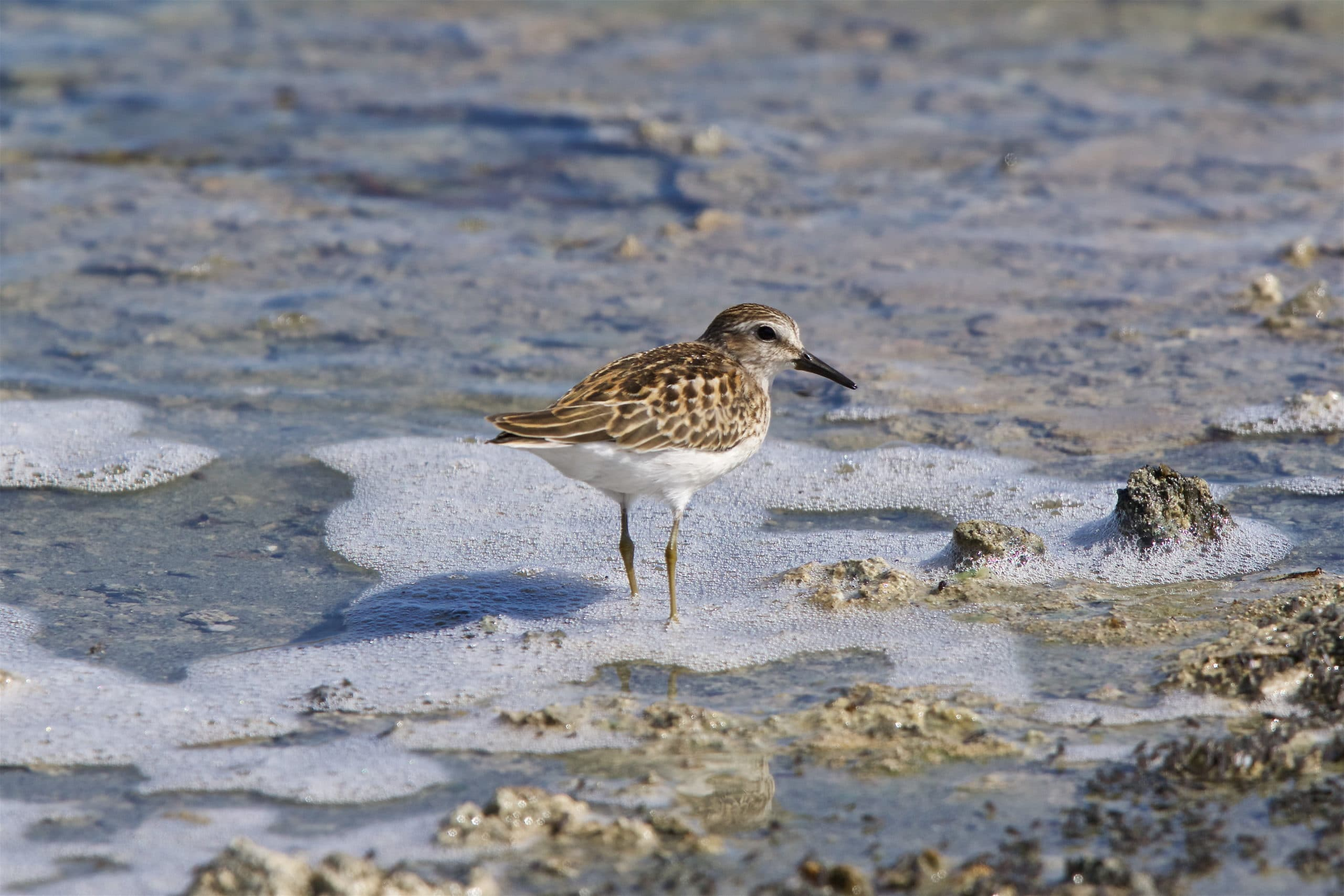 A Least Sandpiper, a shorebird with mottled brown and tan feathers and a short dark bill walking in foamy water at Mono Lake with some alkali flies visible.
