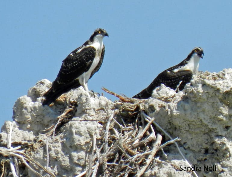 Two Osprey, predominantly black and white fish eating hawks, with yellow eyes, standing on top of a tufa tower.