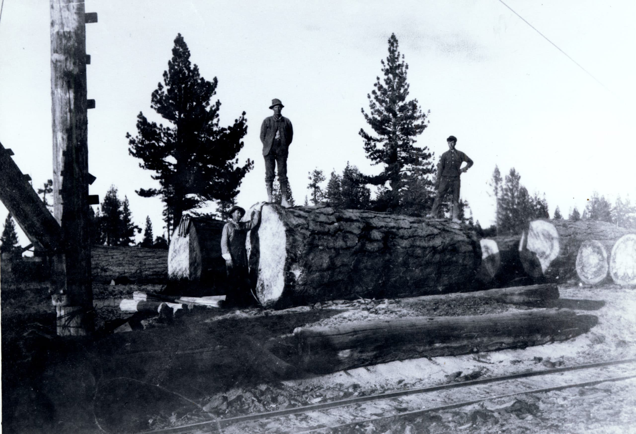 Black and white historical photograph of three people standing on or next to felled Jeffrey pine trees with diameters as tall as the people.