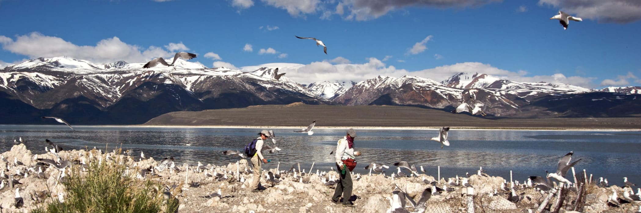 Two researchers walk carefully on an island in Mono Lake with California Gulls standing all around the rocky ground and flying in the air, with dramatic snow-covered mountains in the distance.