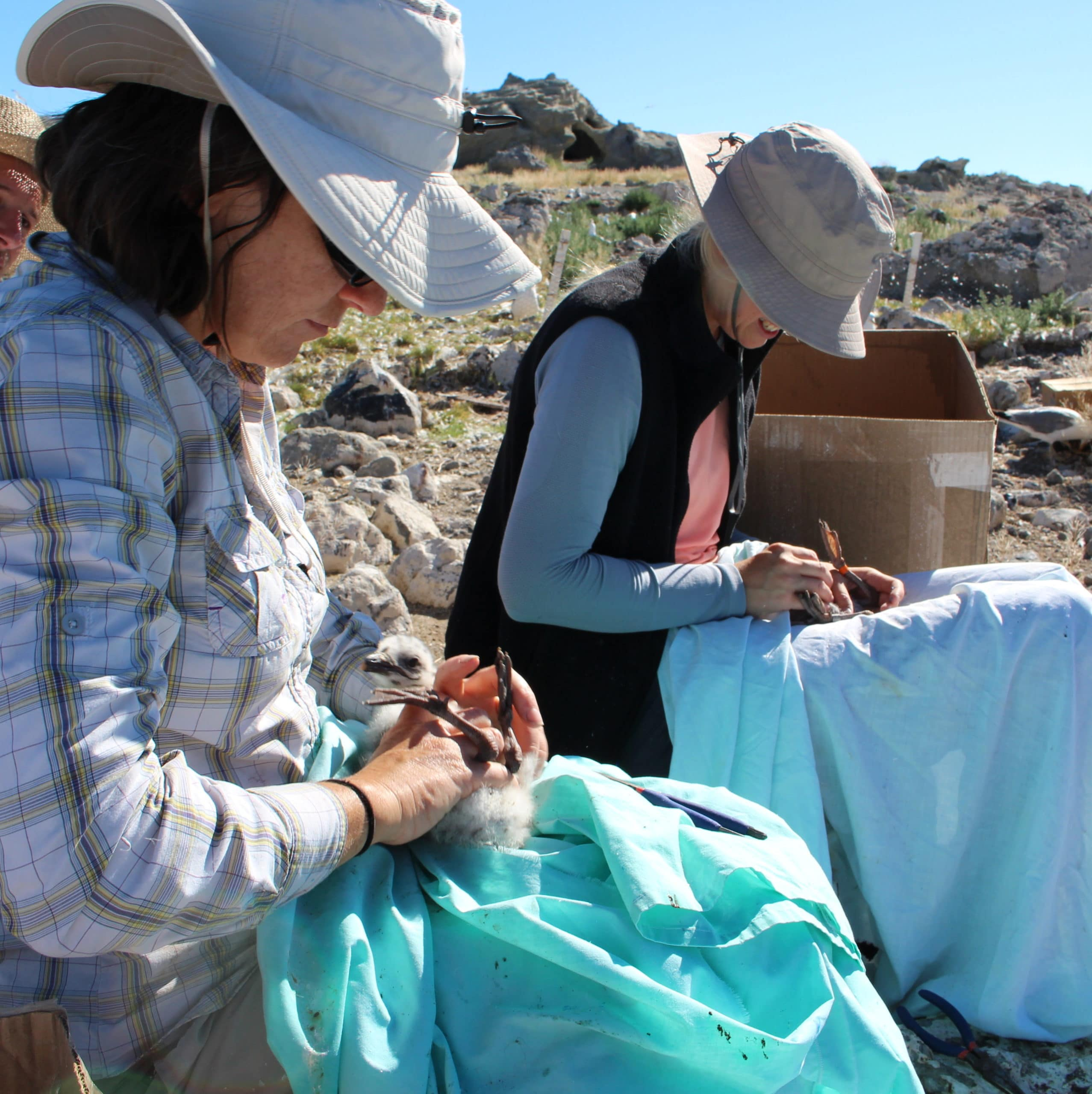 Three researchers, two carefully holding young California Gulls on their laps while getting measurements, and one recording data outside on a nesting colony island in Mono Lake.