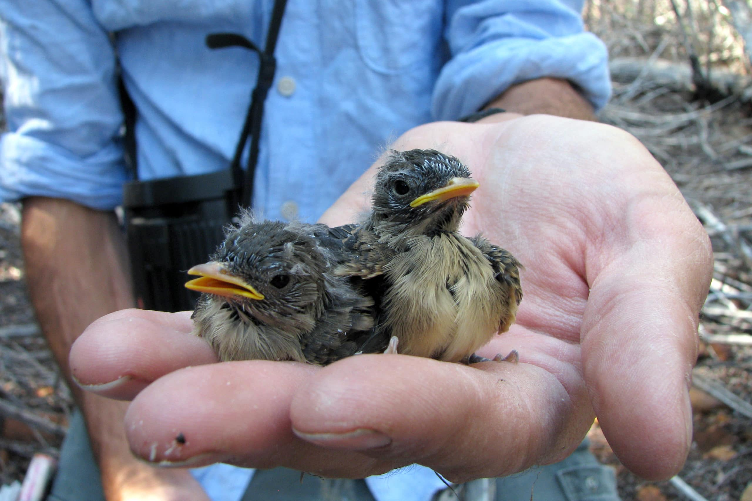 Two baby birds with scruffy feathers and bright yellow beaks being held in one hand of a bird researcher.