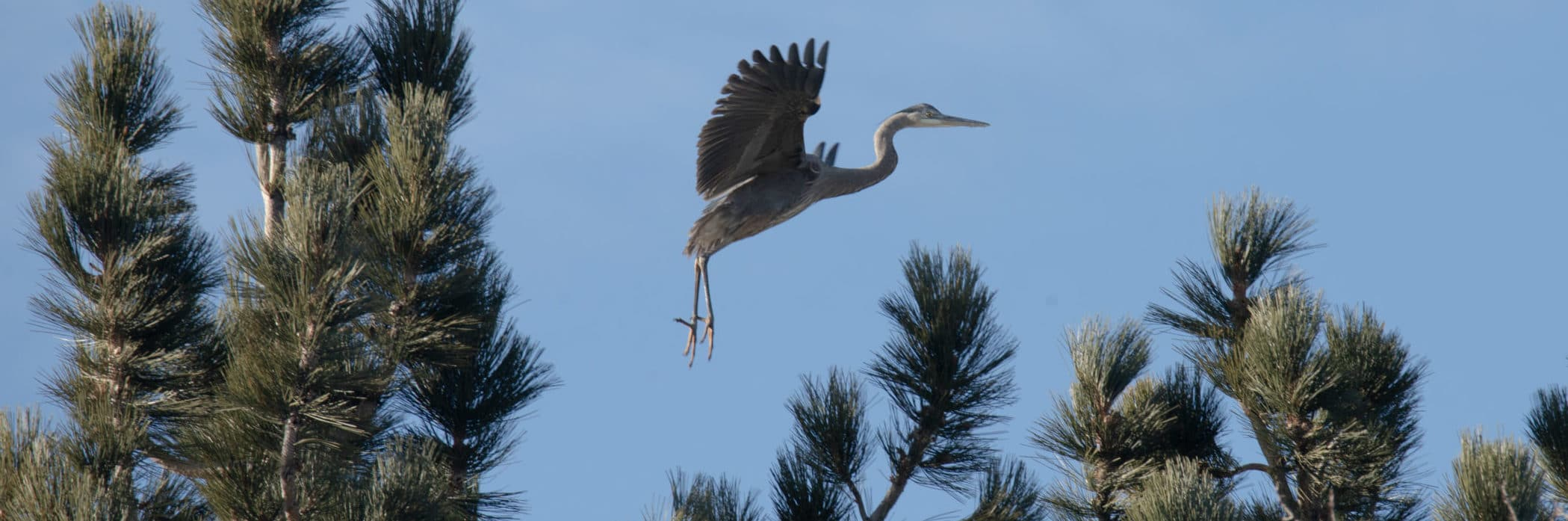 A Great Blue Heron with its wings out, legs dangling, and toes spread, appears to be taking off from an unseen location below and is surrounded by pine trees against a blue sky.