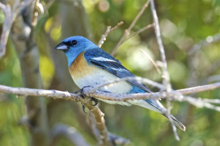 A very bright blue bird, Lazuli Bunting, sits on some branches with a bright green backround.