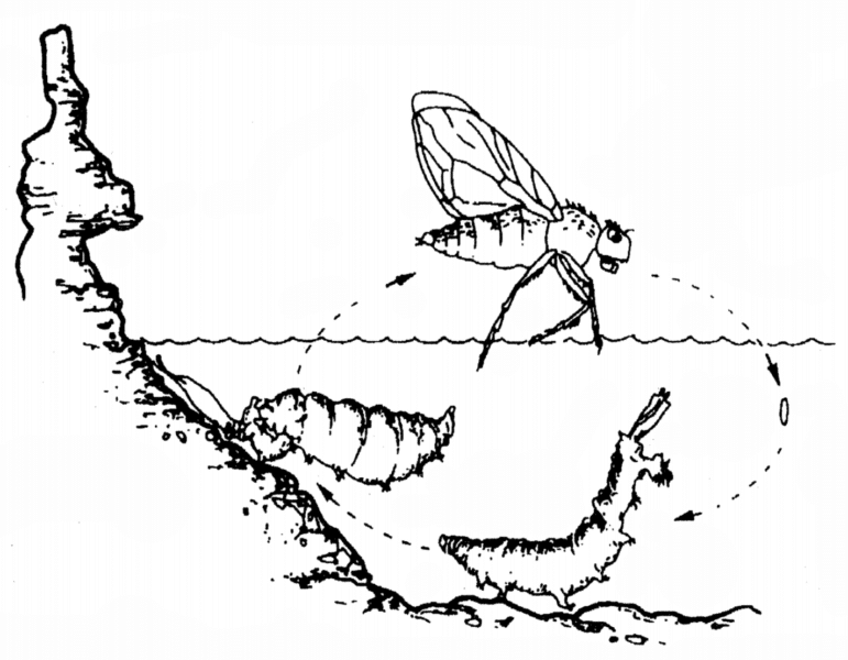 Line drawing of the life cycle of an alkali fly, with larva, pupa, and adult stages depicted with tufa and underwater phases.