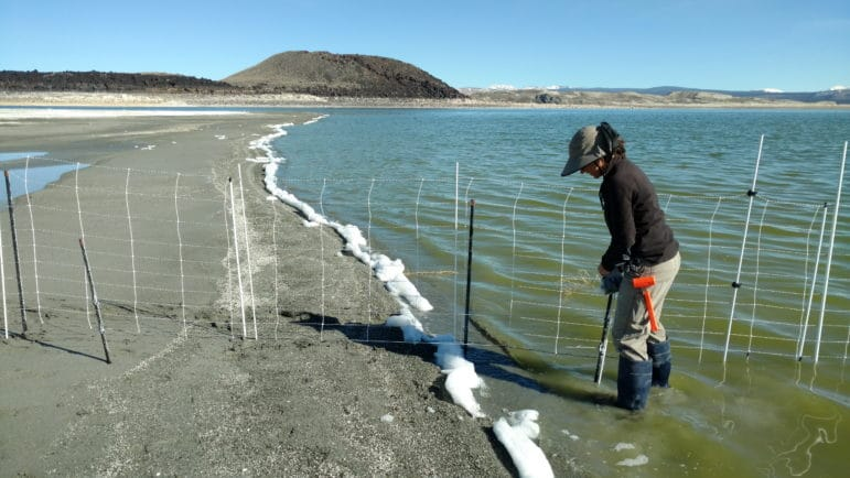 Biologist installing temporary electric fence on landbridge to California Gull nesting colony at Mono Lake.
