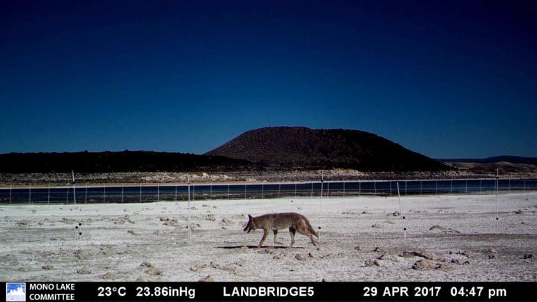 A coyote walking along a temporary electric fence installed to protect nesting California Gull colony.