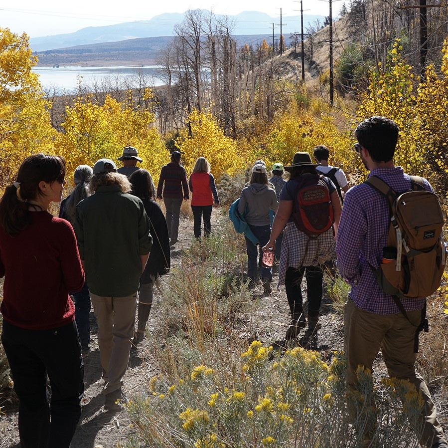 Thirteen people talk down a hill wearing backpacks and hiking gear as they walk on an overgrown dirt road through bright yellow aspens with some burt trees ahead of them and Mono Lake and the Mono Craters in the distance.