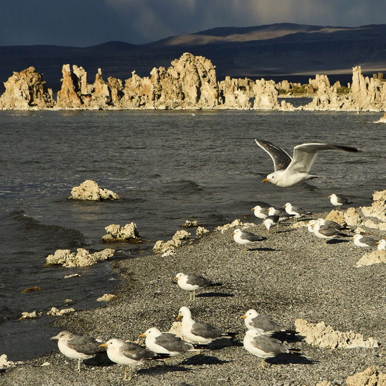 Calfiornia Gulls standing along the shore of Mono Lake in dramatic sunset light with bright tufa towers lit up against a stormy blue background.