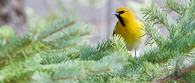 Bright yellow bird standing in a green fir tree.