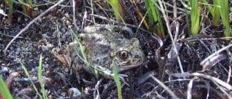 Great Basin Spadefoot Toad with dark spots on light tan skin sitting in some rocks and grass.