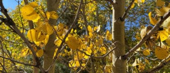 Close up of yellow aspen leaves against light brown branches.