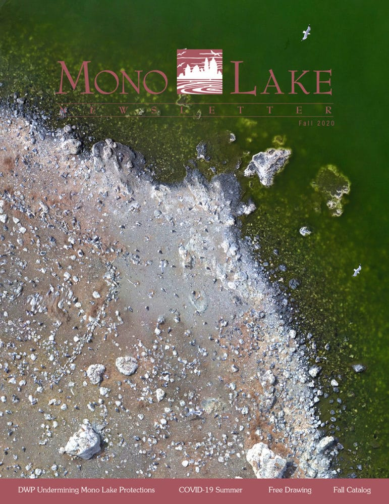 Cover of the Mono Lake Newsletter with an aerial view of the rocky shoreline of one of the gull colony islands in Mono Lake with gulls walking and also flying above the green water.