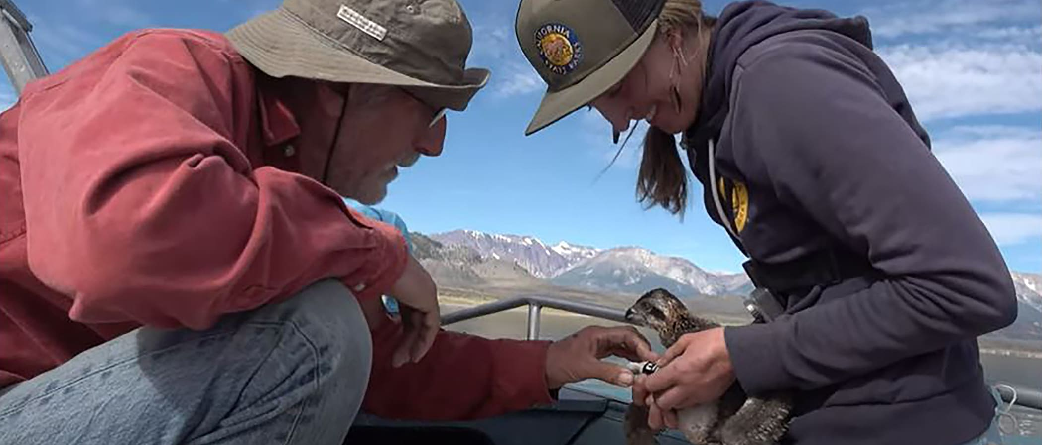 Two researchers sitting in a boat with one holding a baby Osprey, fish eating hawk, while they look at the band on the bird's leg.
