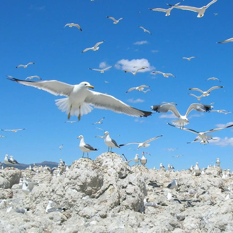 Many California Gulls hovering in flight and standing on a rocky island in Mono Lake.