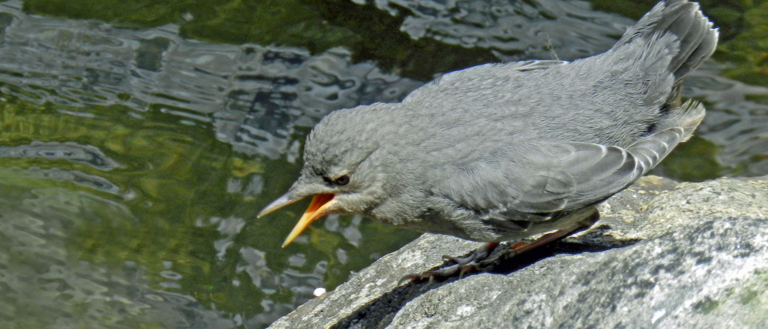 A close up of a gray bird sitting on a rock near green water.