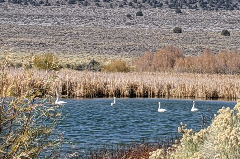 Four white birds seen from a distance float in the rippling blue water of the pond. Yellow and brown grasses and plants surround the water.
