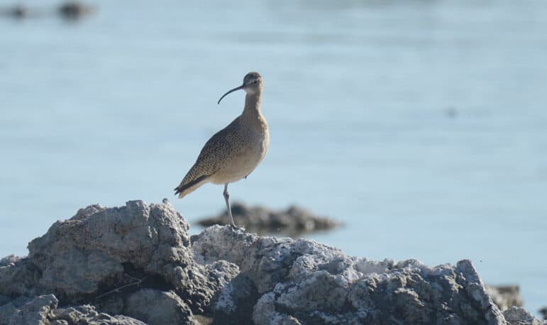 A close up of a light brown bird with a long curved beak and black speckled wings standing on tufa in the sun.