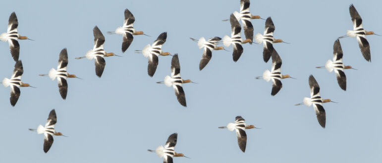 A flock of white and black striped birds with brown heads and long legs and beaks seen from above flying together.