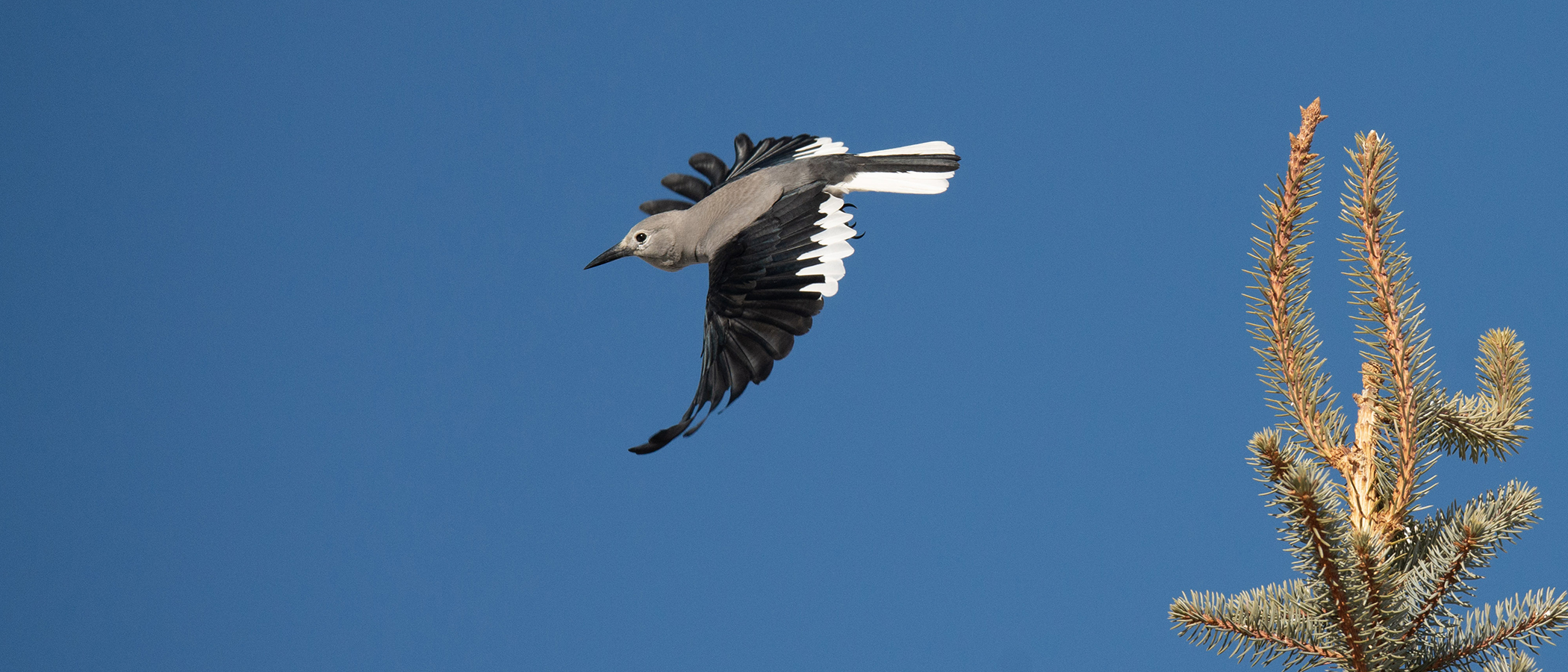A bird with black wings and a gray body swoops through the blue sky.