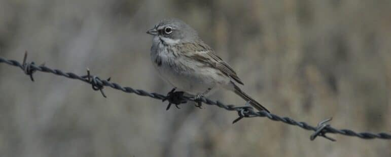 A small tan bird sits perched on barbed wire.
