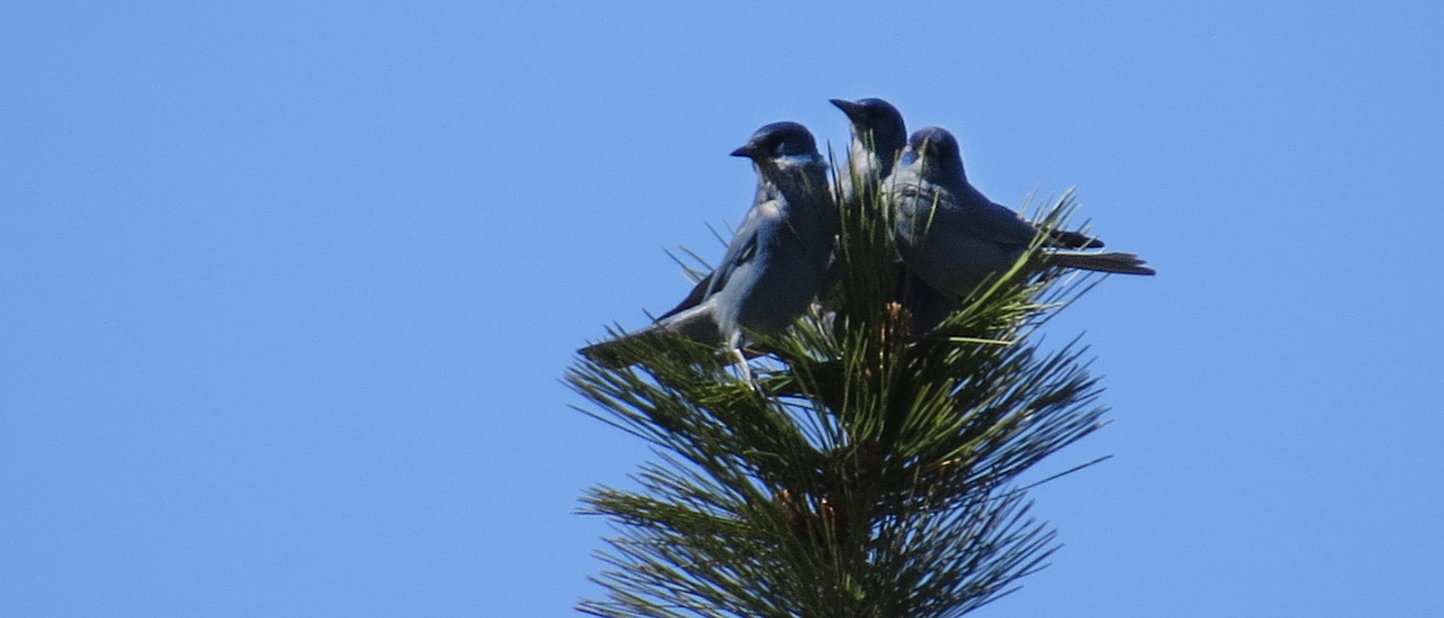 Three blue birds sit on the top of a pine branch against a clear blue sky.