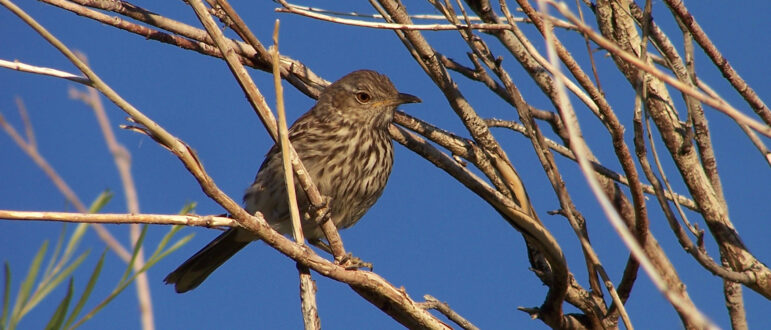 A small brown bird sits amongst branches against a blue sky.
