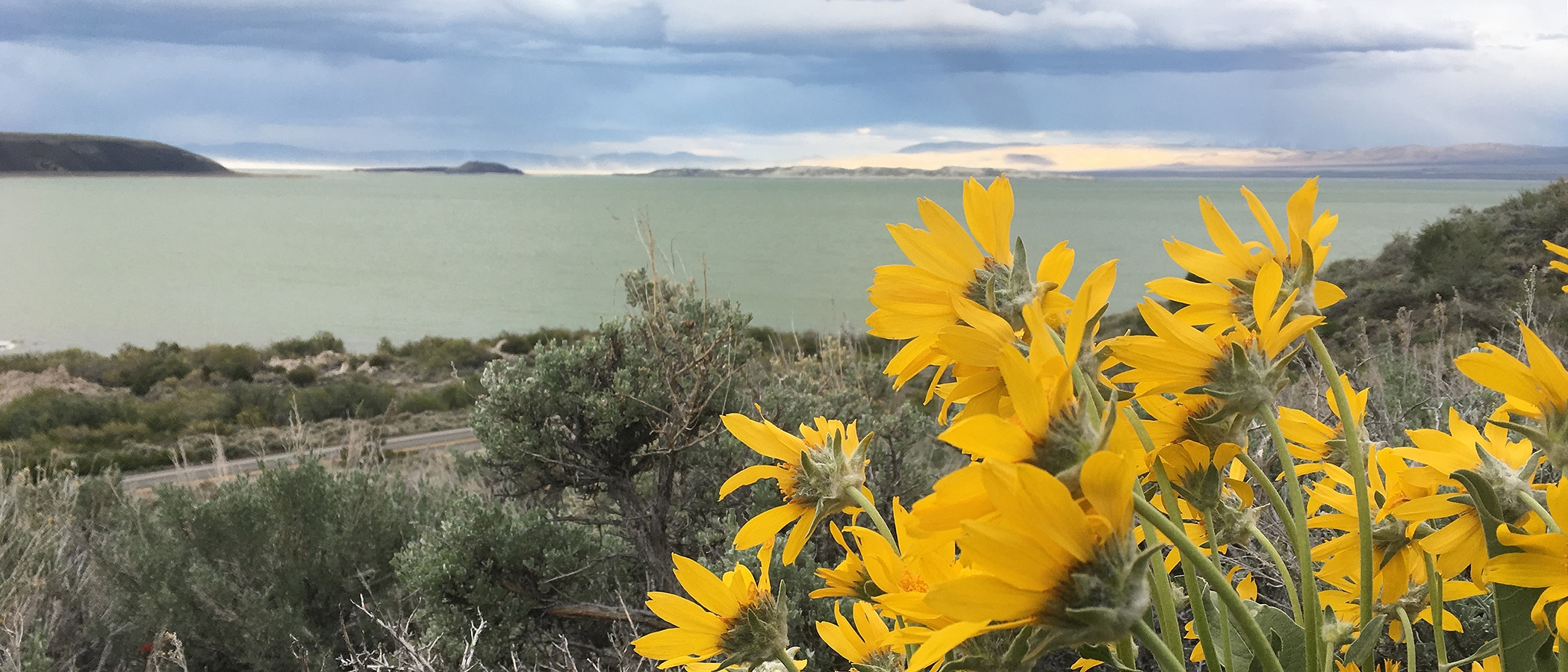 A close up of yellow wildflowers overlooking the teal waters of Mono Lake on a cloudy day.