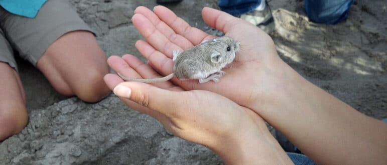 two hands hold a small mammal.